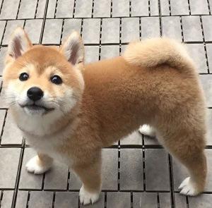 柴犬とか秋田犬の子犬。脚が短いトコがカワイイ。。。